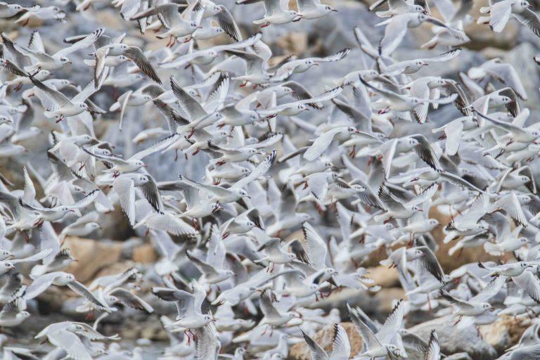 Речни чайки – Chroicocephalus ridibundus и Черноглави чайки – Ichthyaetus melanocephalus, 2019, 46,0 х 70,0 см.