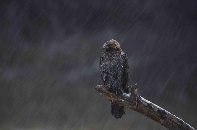 Скален орел – Aquila chrysaetos, 2015, 33,0 х 50,0 см.