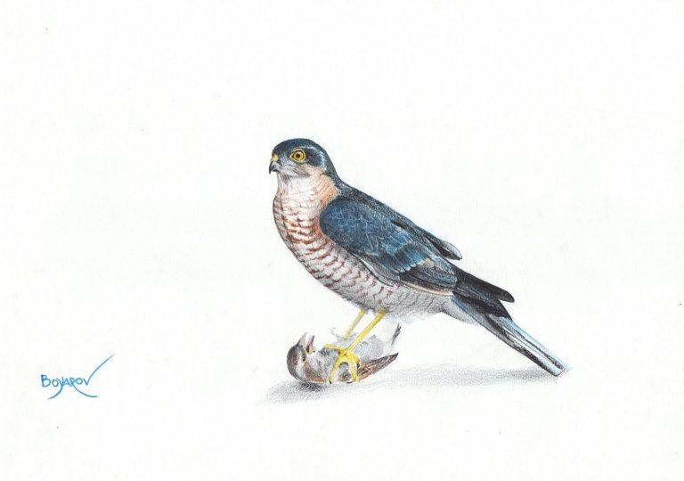 Малък ястреб (Accipiter nisus) с врабче, 2019, цветни моливи върху хартия, 25 x 35 см.
