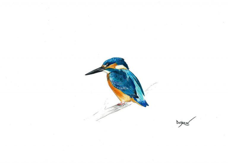 Земеродно рибарче (Alcedo atthis), 2019, цветни моливи върху хартия, 25 x 35 см.