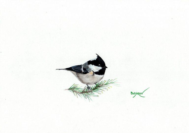 Черен (боров) синигер (Periparus ater), 2019, цветни моливи върху хартия, 25 x 35 см.