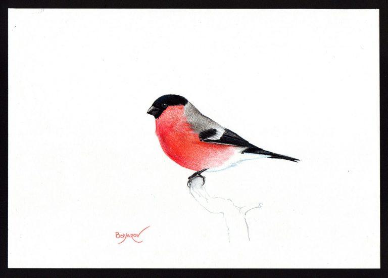 Червенушка (Pyrrhula pyrrhula), 2019, цветни моливи върху хартия, 25 x 35 см.