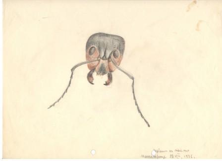 Рисунка глава на мравка, 1936, цветни моливи/хартия, 23,2×29,7