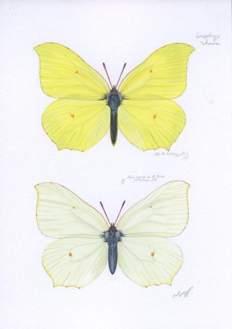 Gonepteryx rhamni, 2020, Tempera on paper, 21 х 15 cm.