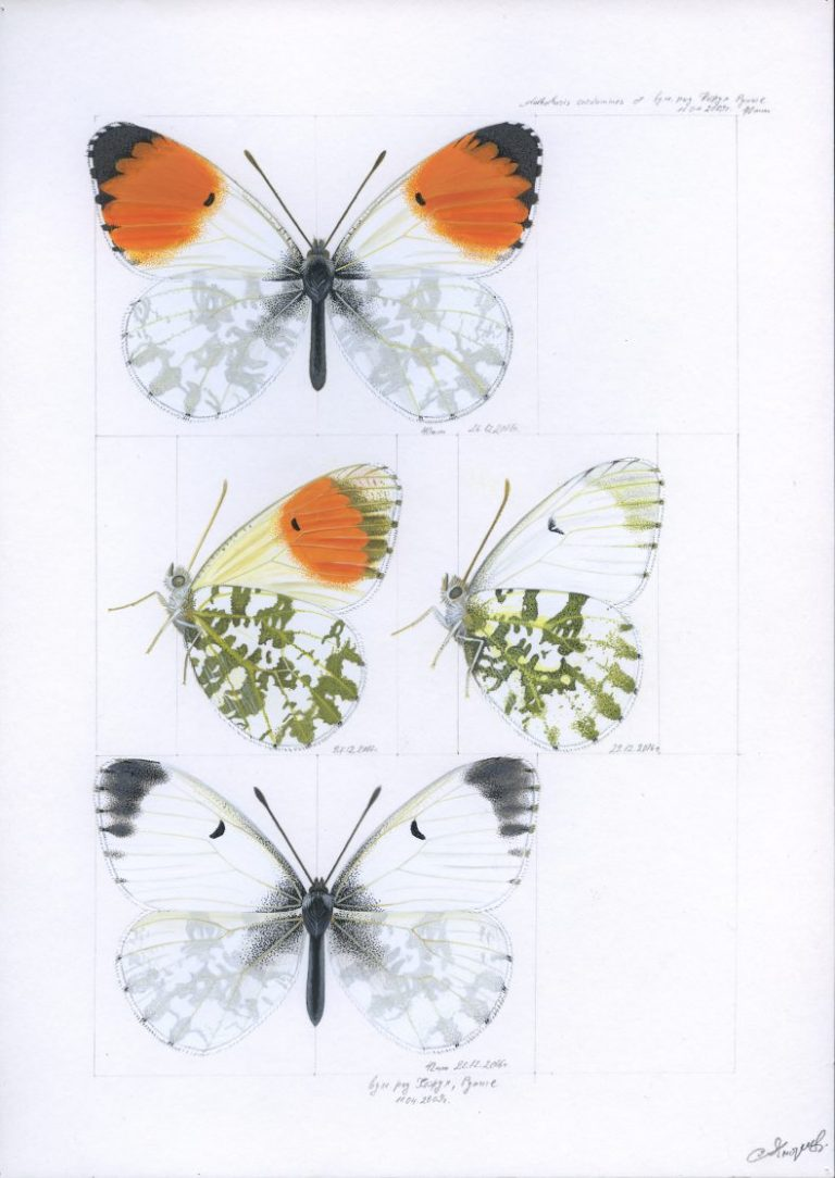 """Кардаминова пеперуда (Anthocharis cardamines)"", 2016, яйчна темпера върху хартия, 29×21 см"