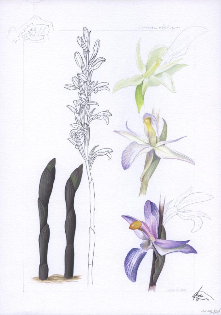 Недоразвит лимодорум (Limodorum abortivum), 2020, темпера и туш върху хартия, 29 х 21 см.