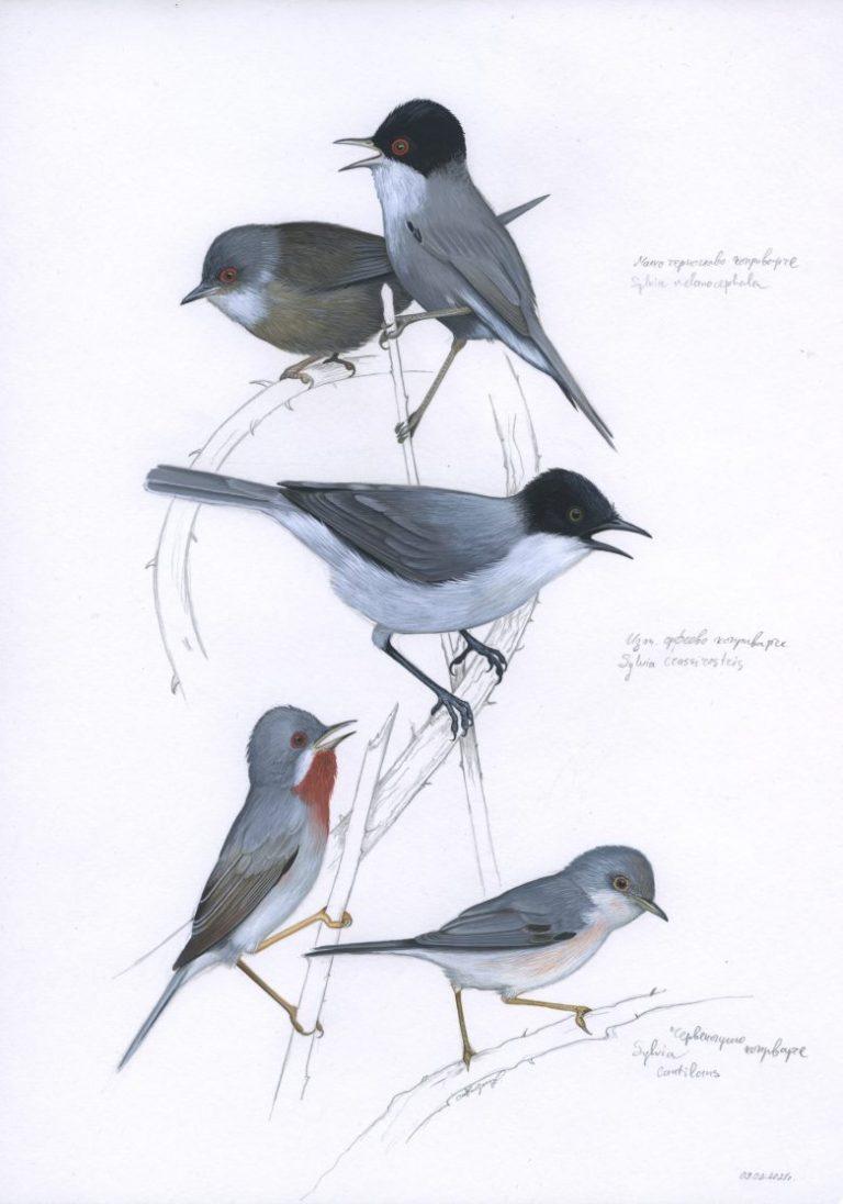 Коприварчета (Sylvia melanocephala, Sylvia crassirostris, Sylvia cantillans), 2021, темпера върху хартия, 29 х 21 см.